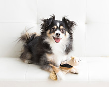 Long Haired Chihuahua In Natural Light Lounges With Toy On A White Futon And Is Playful And Makes Eye Contact