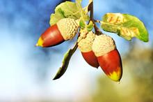 Close-Up Of Acorns On Tree
