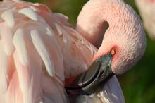 Sleepy Flamingo On Warm Summer Afternoon