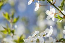 Flowers Of Cherry Plum (prunus...