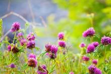 Trefoil Flowers Of Zigzag Clov...