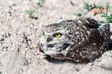Burrowing Owl Athene Cunicular...