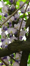 Branch With Wisteria Flowers O...