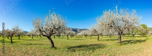 Fotografija almond trees