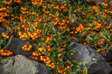 Close Up Of Cluster Of Small O...