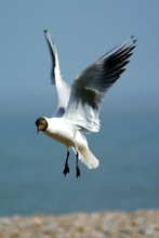 Low Angle View Of Black-Headed Gull
