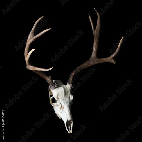 Photo Mule Deer Buck - Rack with Full Skull on Black
