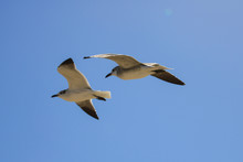 Pair Of Seagulls In Flight