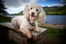 Miniature Poodle Pedigree Dog Sitting On A Bench On The Side Of Lake Windermere Looking Straight Into The Camera - Great Hero Image For Promoting The Lake District To Dog Lovers, Campers And Hikers.