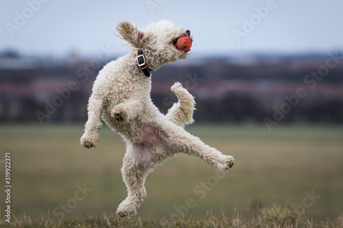 Fotografie, Obraz Miniature Poodle Pedigree Dog jumping onto one leg and catching ball in mouth - Kung Fu Poodle