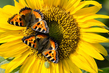 CLOSE-UP OF Two Butterflies ON YELLOW FLOWER