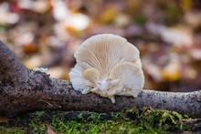 Oyster Mushroom (Pleurotus) Gr...