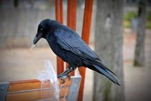 Raven Perching On Bench