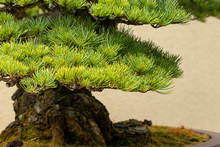 Bonsai Growing In Pot Against Cream Background