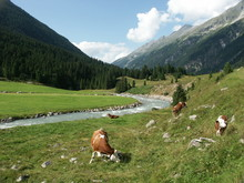 Scenic View Of Cattle Grazing ...