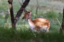 Female Fallow Deer On Grassy Field