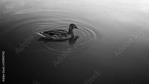 Photo High Angle View Of Mallard Duck Swimming On Lake