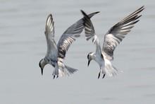 Full Length Of Terns Flying Over Lake