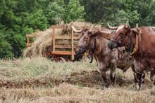 Oxen Yoked For Plowing In Farm