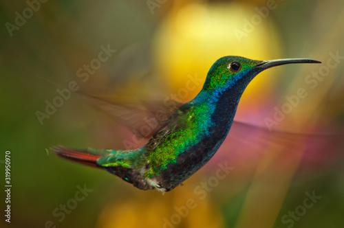 Fotografie, Tablou Close-Up Of Hummingbird Flying