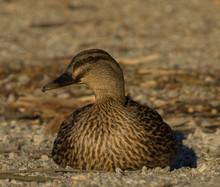 Close-Up Of Female Mallard Duc...
