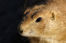 Close-Up Of Prairie Dog