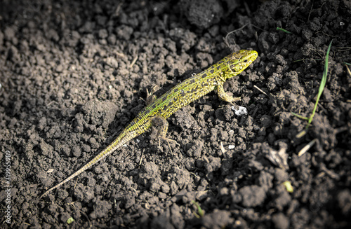 Fotografie, Tablou A green lizard crawls on the ground