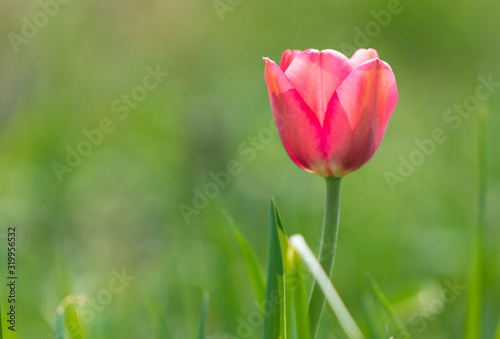 Red tulip on the nature