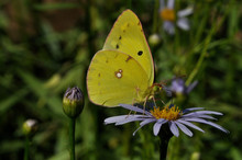 Close-Up Of Yellow Butterfly On Purple Flowers