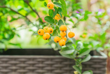 Close Up Of Berries Of Yellow ...