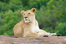 Lioness Relaxing On Wood
