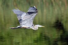 Great Blue Heron Flying Over Lake