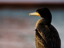 Close-Up Of Cormorant By Sea During Sunset