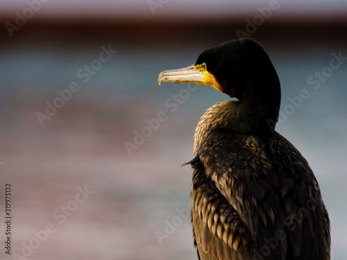 Photographie Close-Up Of Cormorant By Sea During Sunset