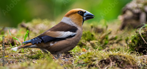 Obraz na plátně Close-Up Of Hawfinch