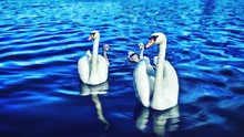 Mute Swans With Cygnets Swimming In Lake