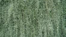 Close Up Of Spanish Moss Tillandsia Usneoides