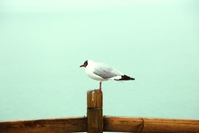 Black-Headed Gull Perching On Wooden Railing Against Clear Sky