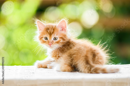 Photographie adorable playful red orange fluffy kitten on sunny day