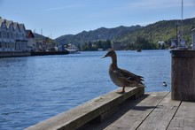 Close-Up Of Duck Perching On Pier
