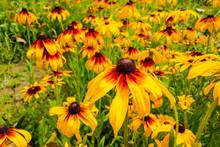 Black Eyed Susan Flowers In Ga...