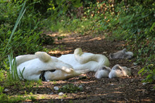 Swan Family Resting On Ground