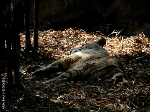 Canvas Tiger Lying On Field In Forest