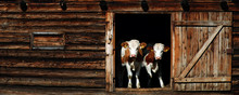 Panoramic View Of Cows Standing At Entrance Of Barn
