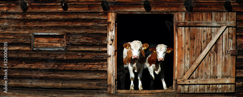 Photographie Panoramic View Of Cows Standing At Entrance Of Barn