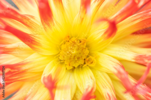 Photo Macro of a pink yellow dahlia