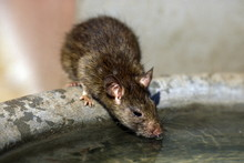 Close-Up Of Rat Drinking Water From Container