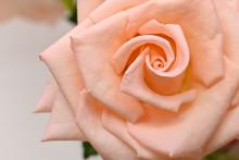 Orange Rose With Spiral Petal, Beautiful Flower Springtime In Nature