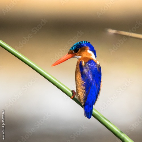 Valokuvatapetti Kingfisher Perching On Plant