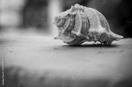 Fotografie, Obraz Close-Up Of Conch Seashell